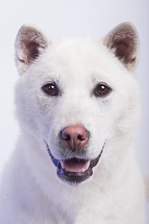Белое inu kishu стоковое фото