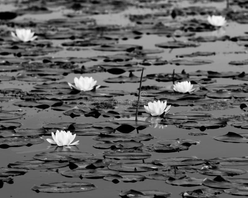 Белое Lillies с темными пусковыми площадками в болоте Мичигана стоковое изображение