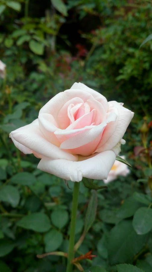 Белое RoseRosa indica стоковые изображения