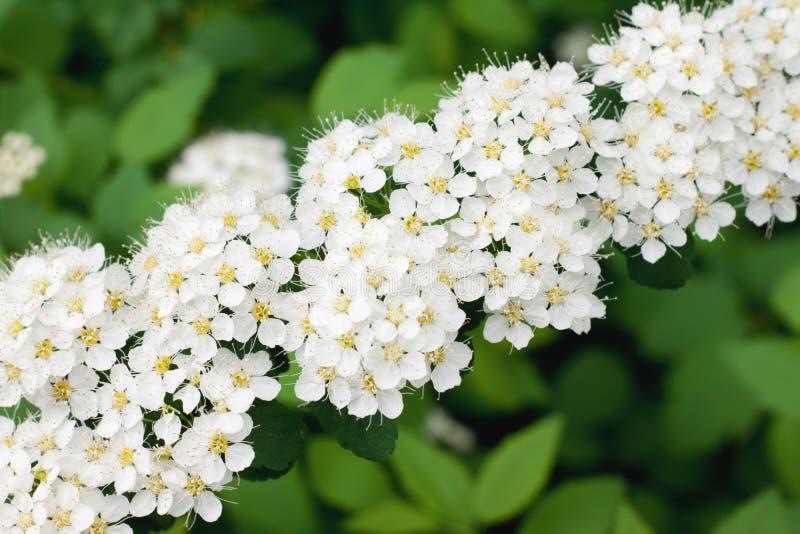 Белое Spirea в саде стоковые фотографии rf