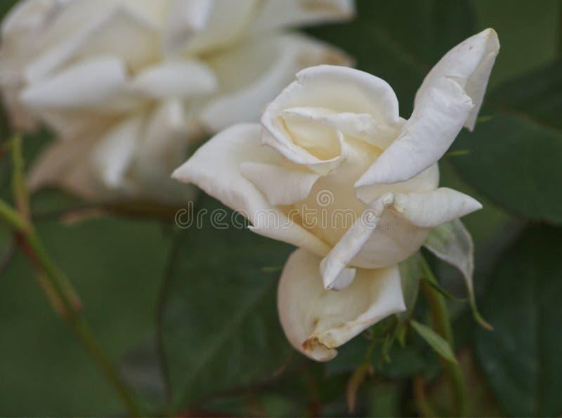 Завод белой розы стоковая фотография