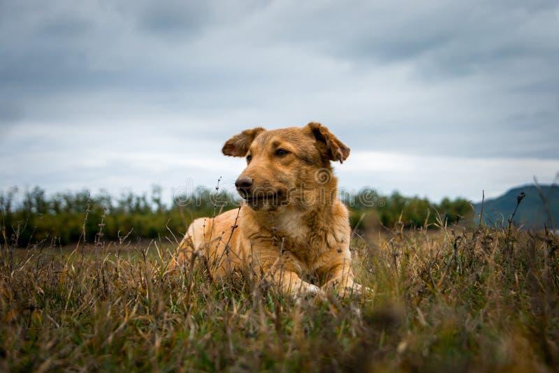 Белокурая собака лежа в траве рядом с озером Plastira, Грецией стоковое изображение