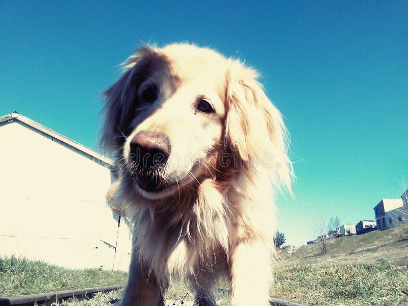 белокурая собака стоковая фотография