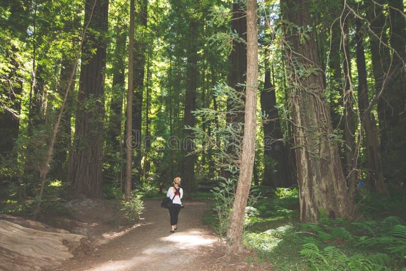 Белокурые женские прогулки туристов через тропу леса гигантских деревьев в национальном парке Redwood в Калифорния стоковое фото rf