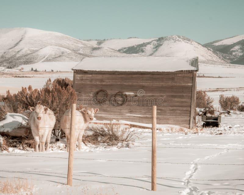 2 белокурых коровы в поле зимы стоковое фото