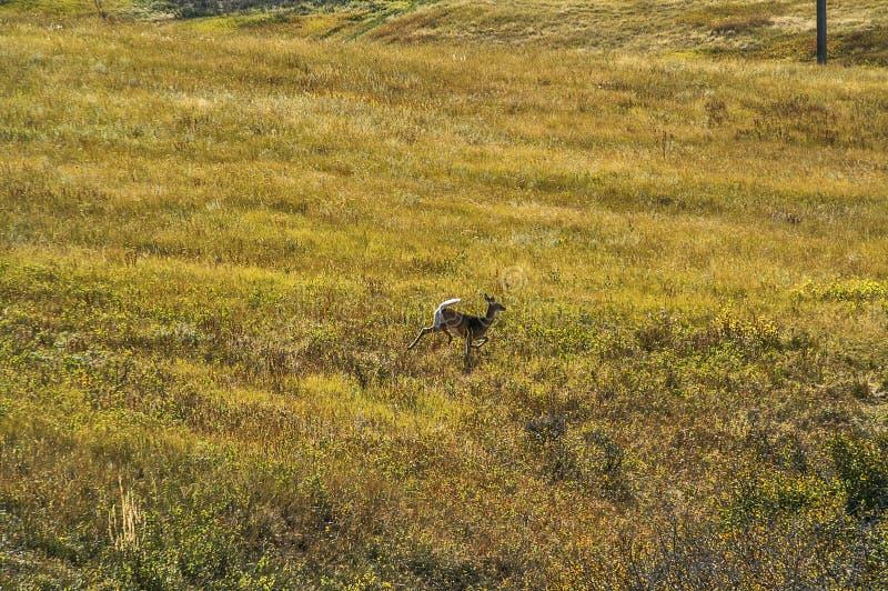 Бело-замкнутая лань бежать через поле стоковая фотография rf