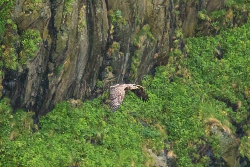 Бело-замкнутое летание орла в яростном полете стоковые фотографии rf