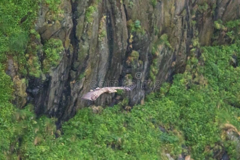 Бело-замкнутое летание орла с полным размахом крыла стоковое изображение rf
