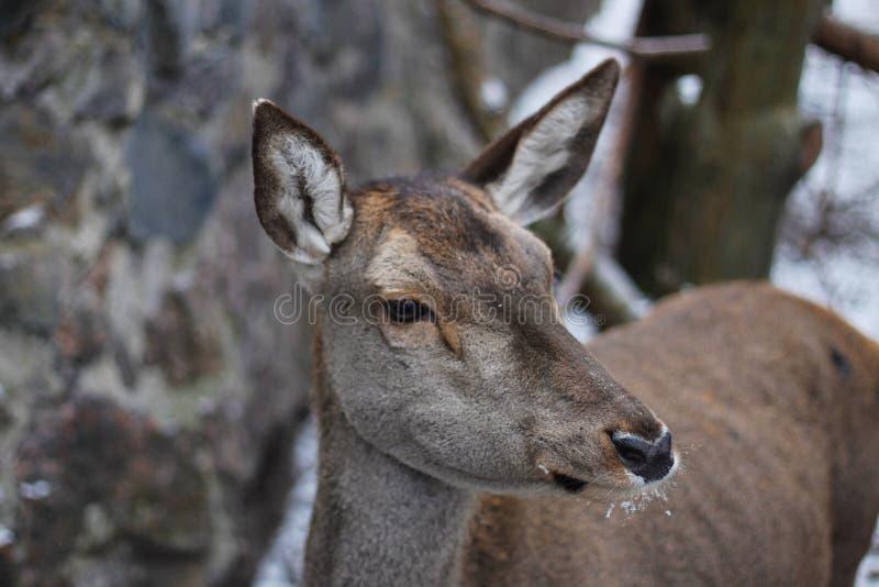 Бело-замкнутое virginianus американского оленя оленей стоковая фотография rf