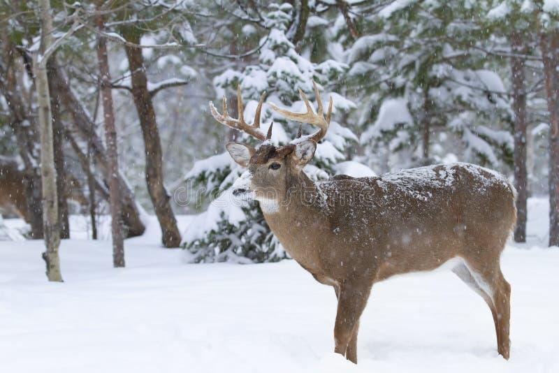 Бело-замкнутый крупный план самца оленя оленей в снеге зимы во время колейности осени в Оттаве, Канаде стоковые фотографии rf