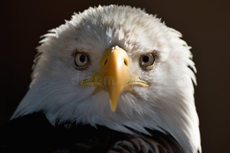 Бело-замкнутый портретом белоголовый орлан орла, национальная американская птица добычи стоковое фото rf