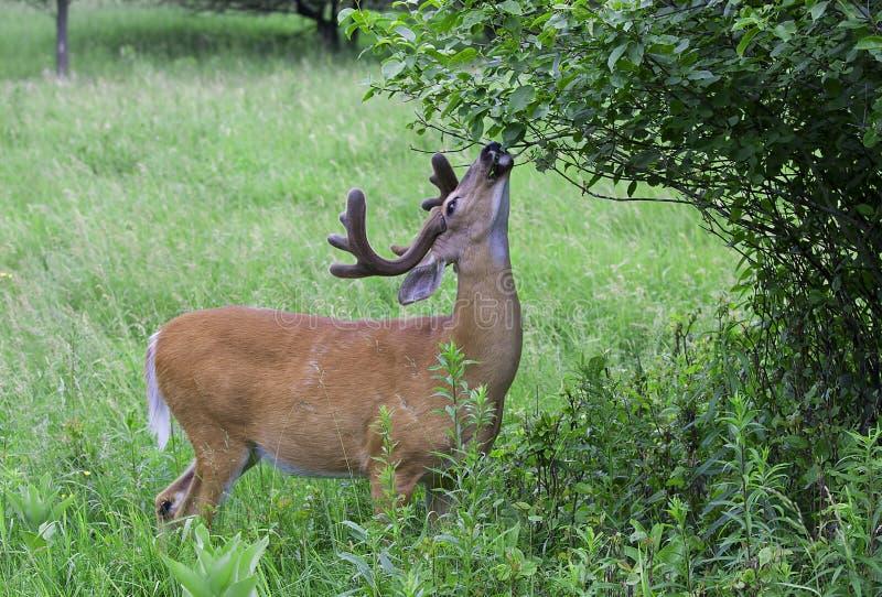 Бело-замкнутый самец оленя оленей в свете раннего утра при antlers бархата есть листья весной в Канаде стоковая фотография