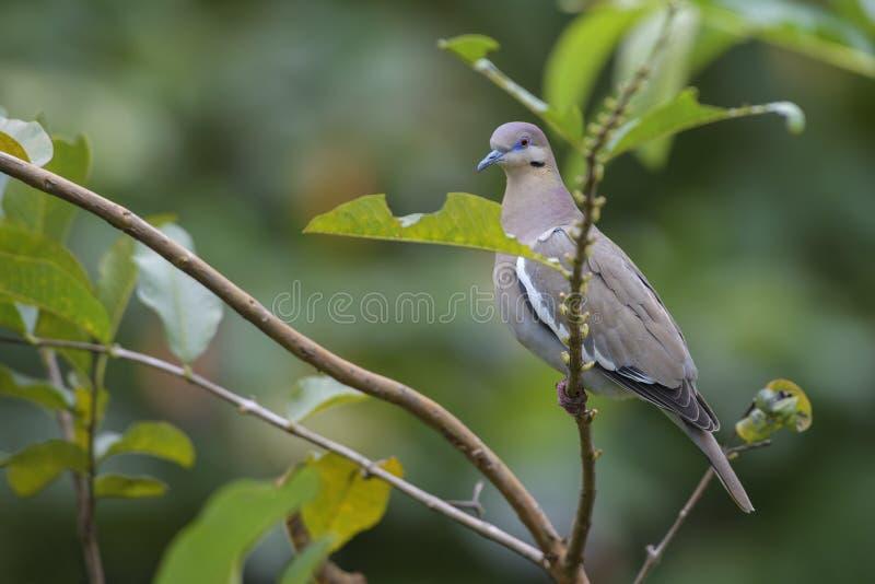 Бело-подогнали голубь - Zenaida asiatica стоковая фотография rf