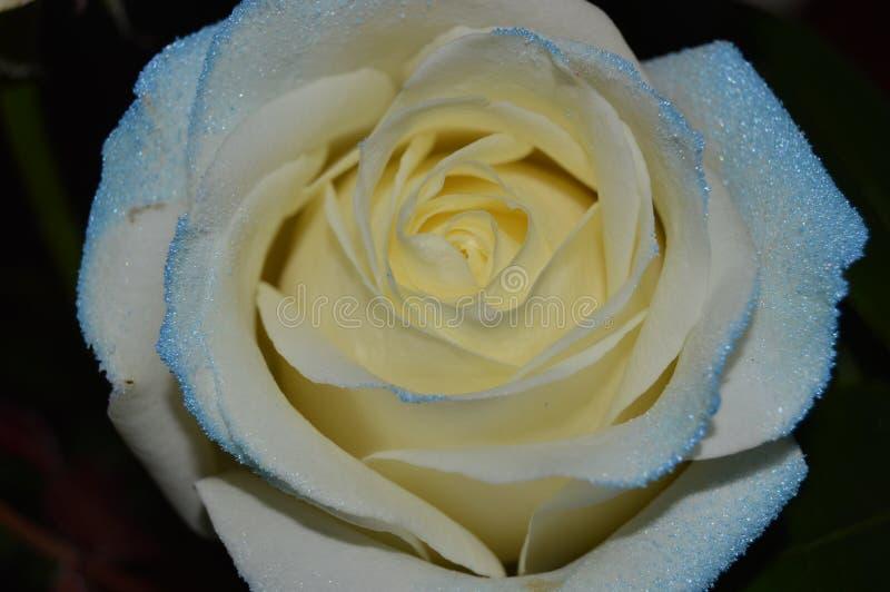 Бело- роза сини стоковые фото