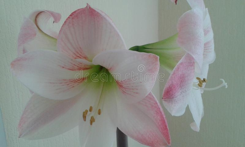 Бело-розовое gippeastrum стоковая фотография