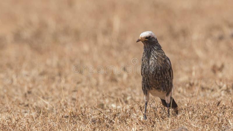 Бело-увенчанный Starling в засушливом поле стоковое фото rf