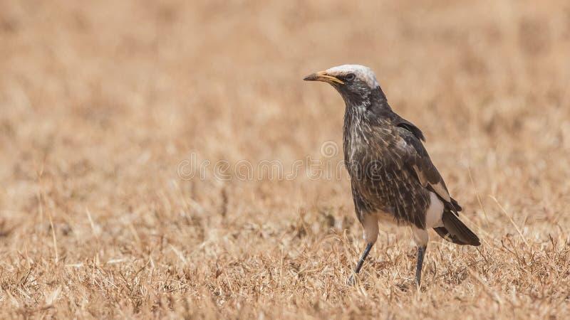 Бело-увенчанный Starling в поле стоковое изображение