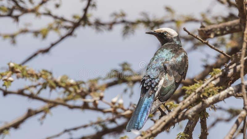 Бело-увенчанный Starling на ветви дерева стоковое изображение