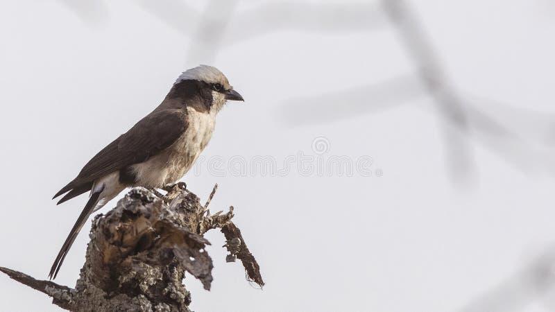 Бело--rumped Shrike на деревянном журнале стоковые изображения rf