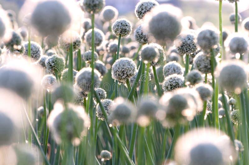 Белые большие цветки лука перед заходом солнца стоковое фото