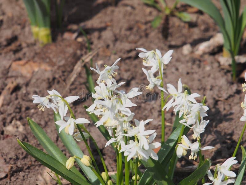 Белые бутоны зацветая цветков bluebell just rained стоковая фотография