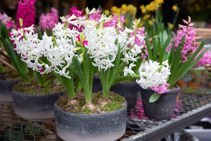 Белые времени весны в горшке и розовые гиацинты зацветая в магазине сада стоковое изображение