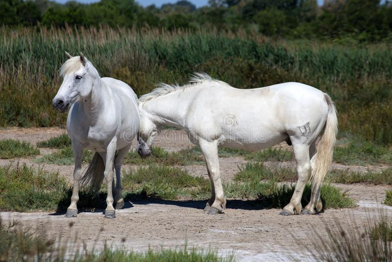 Белые дикие лошади Camargue, Франции стоковое фото