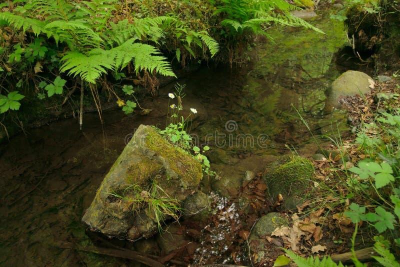 Белые дикие маргаритки на мшистом камне в небольшой пруд воды окруженный папоротниками в древесине Malabotta стоковое фото
