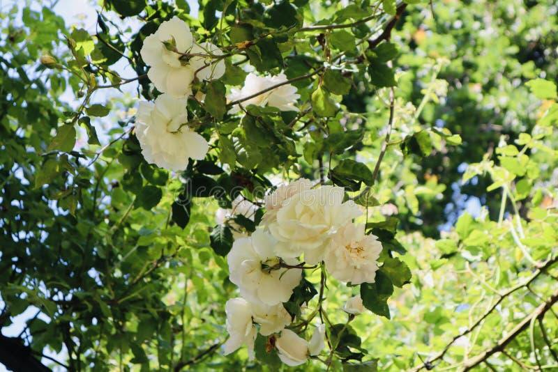 Белые дикие розы стоковые изображения rf