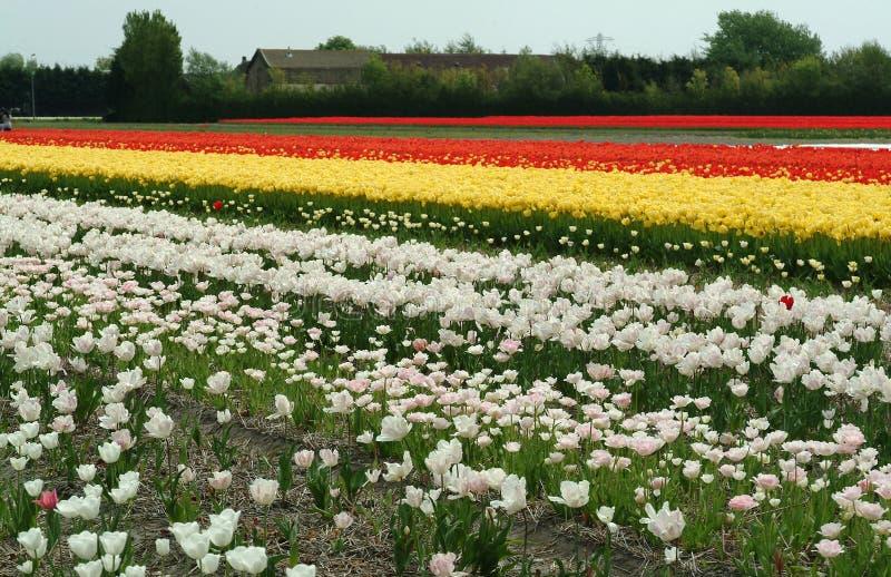 Белые, желтые, красные поля тюльпана, Lisse стоковые фотографии rf
