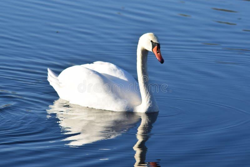 Белые заплывы лебедя в озере стоковое фото