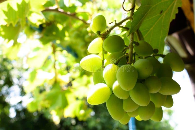 Белые, зеленые виноградины вися на лозе куста в винограднике стоковое фото rf