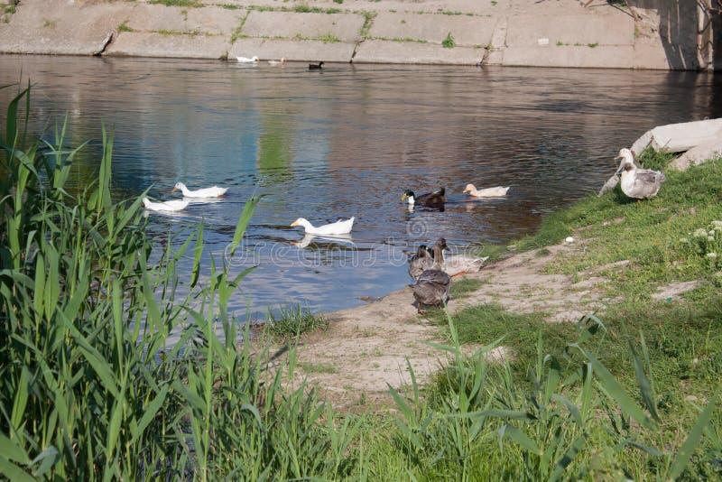 Белые и испещрянные утки стоковая фотография rf