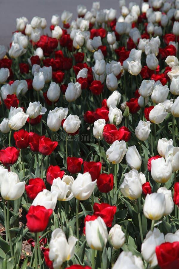 Белые и красные тюльпаны в весеннем времени стоковые изображения rf