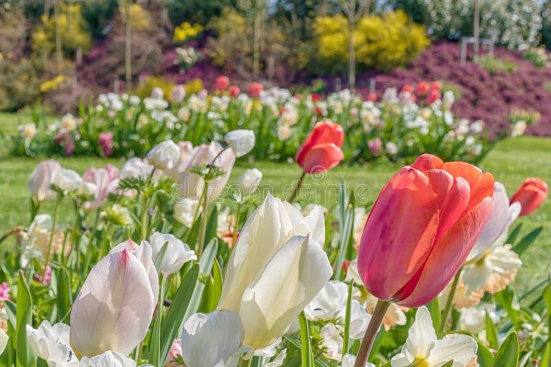Белые и красные тюльпаны на запачканной предпосылке стоковые фото