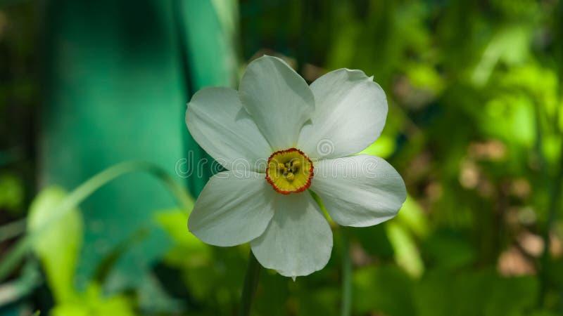 Белые и оранжевые daffodil или narcissus цветут конец-вверх на flowerbed, селективном фокусе, отмелом DOF стоковая фотография rf
