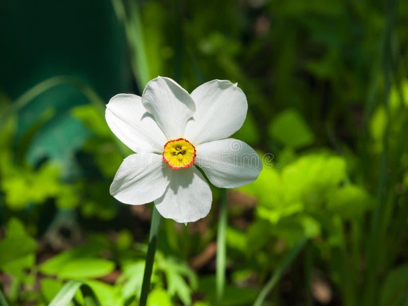 Белые и оранжевые daffodil или narcissus цветут конец-вверх на flowerbed, селективном фокусе, отмелом DOF стоковые изображения