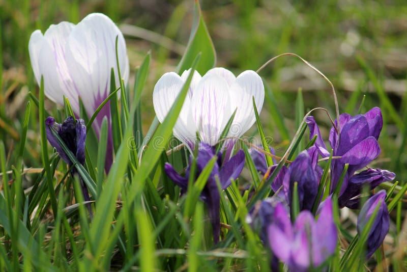 Белые и пурпурные крокусы в зеленой траве стоковые фотографии rf