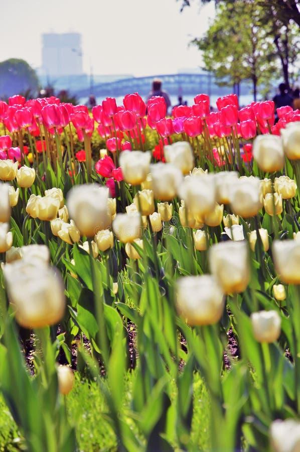 Белые и розовые тюльпаны в парке Gorky в Москве стоковое изображение rf