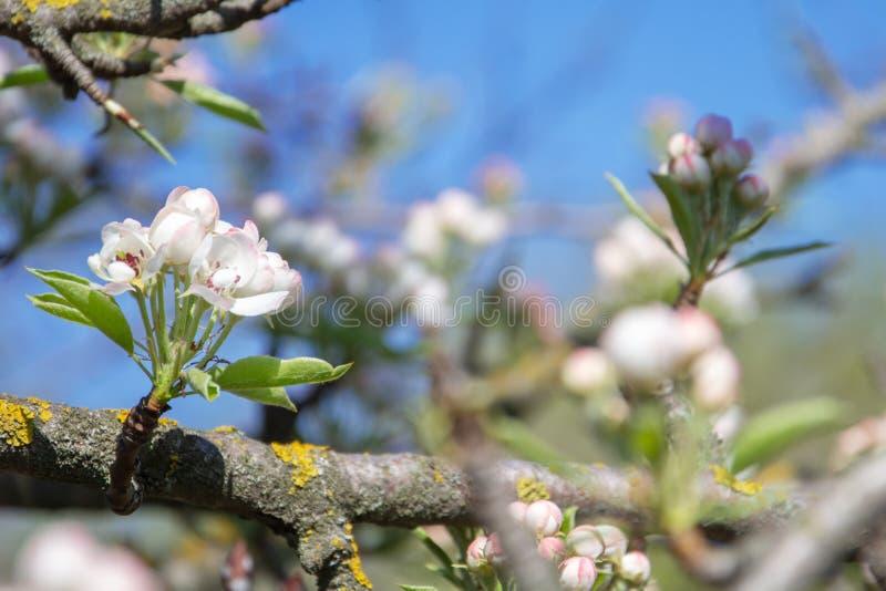 Белые и розовые цветения на ветвях яблони дальше против голубого неба стоковое изображение rf
