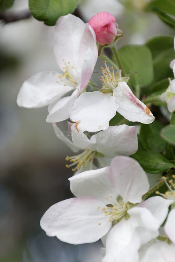 Белые и розовые цветения яблока стоковое фото rf