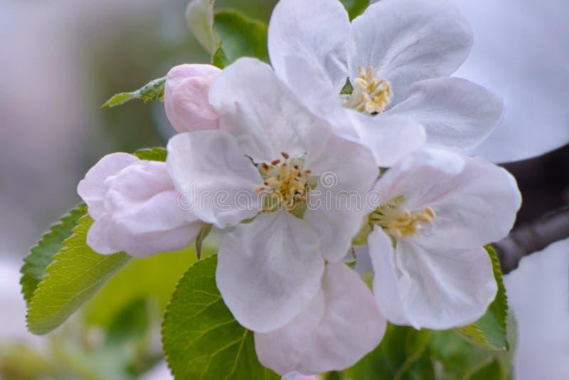 Белые и розовые цветения яблони в предпосылке неба стоковые изображения rf