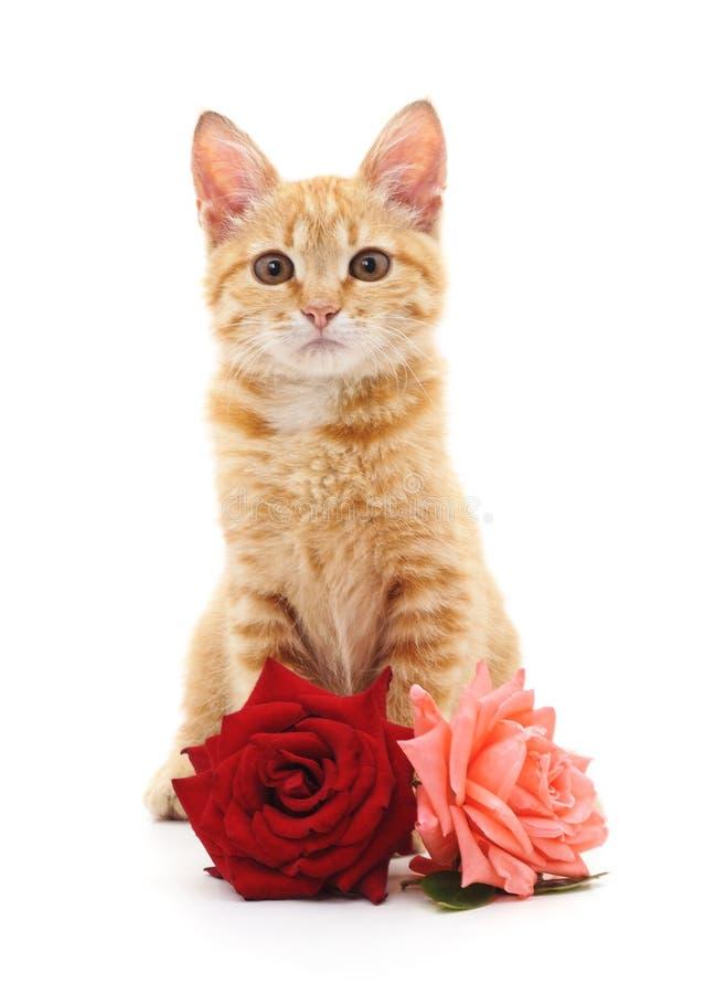 Белые котенок и розы стоковые фотографии rf