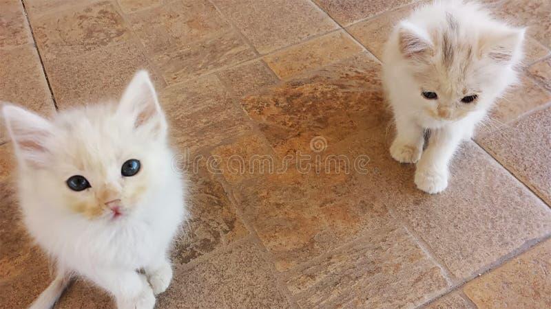 Белые коты ждать вас стоковое фото rf