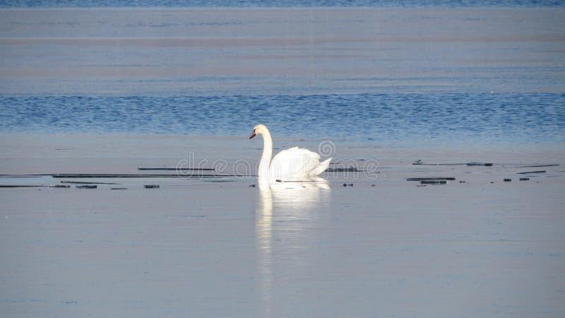 Белые лебеди зимой на озере стоковая фотография rf