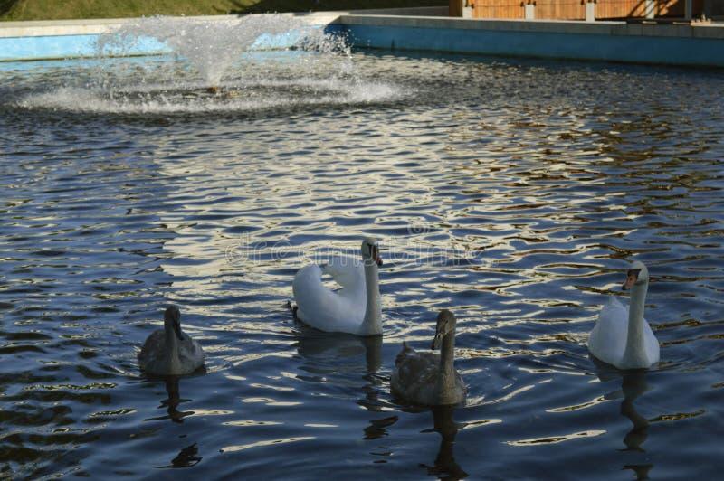 Белые лебеди на озере в парке стоковые изображения