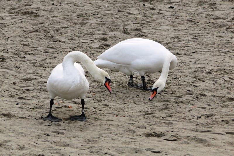 Белые лебеди на пляже стоковые фото