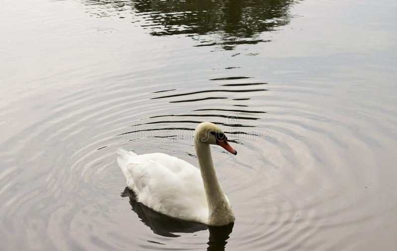 Белые лебеди плавая на озере стоковое фото
