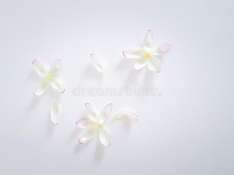 Белые лепестки тюльпана на белой предпосылке Цветет состав Тюльпан на белой предпосылке Пасха, концепция весны стоковое изображение