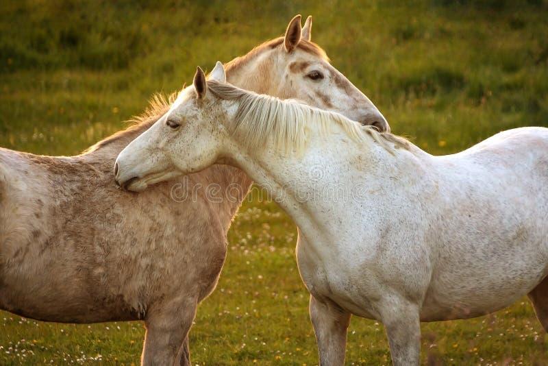 Белые лошади близко к одину другого стоковая фотография